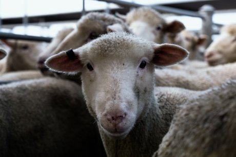 aussie-farms-sheep-ballarat-saleyards