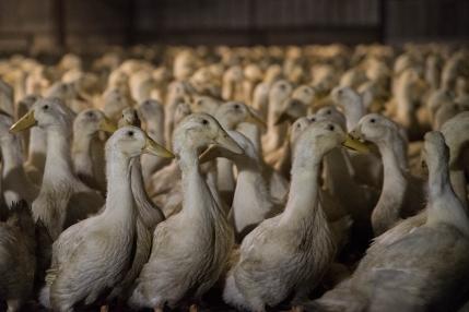 Duck-farming-Victoria